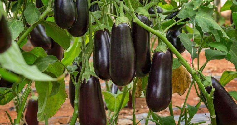 Ця підгодівля для баклажан допоможе отримати високий урожай, коли низька родючість грунту